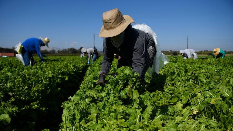 Farm workers harvest greens.