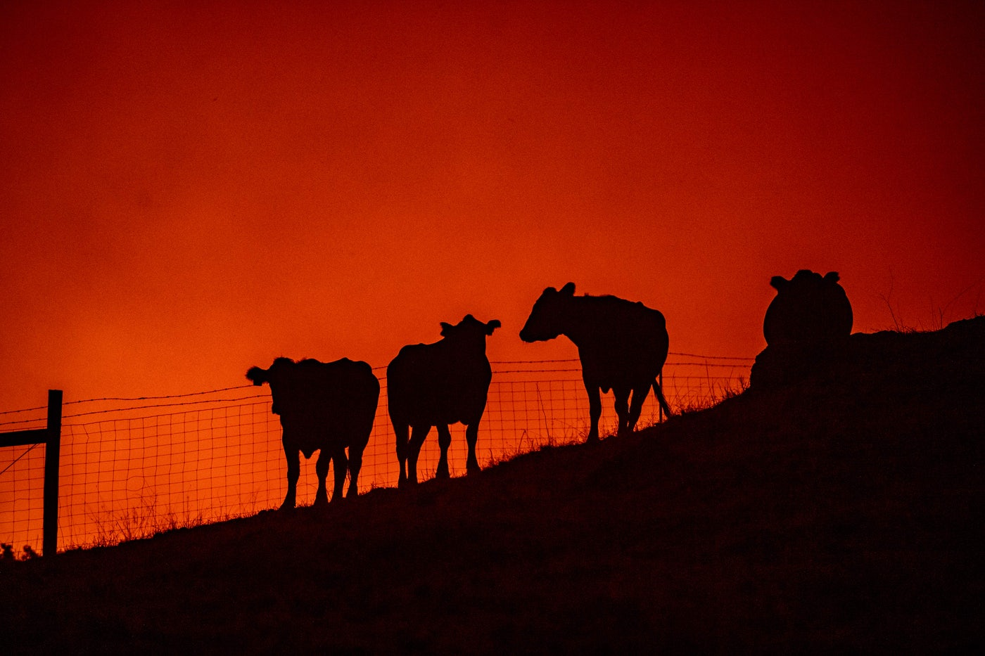 Cows stand on a field as fire approaches in the distance in California.