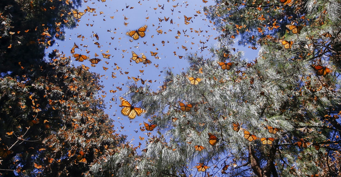 The Tribal Coalition Fighting to Save Monarch Butterflies
