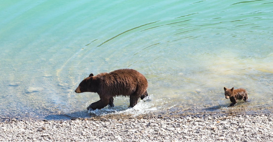 Those Bathing Bears Aren't Cute. They're Climate Change Victims.