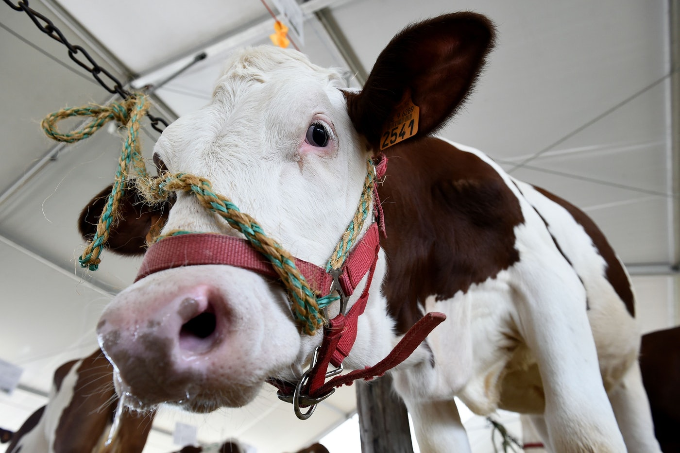 A Montbeliarde breed cow stands in its enclosure at an agricultural fair.