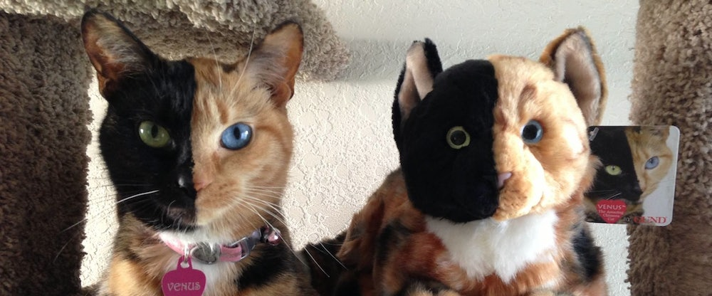Venus The Chimera Cat Explained By Geneticist The New