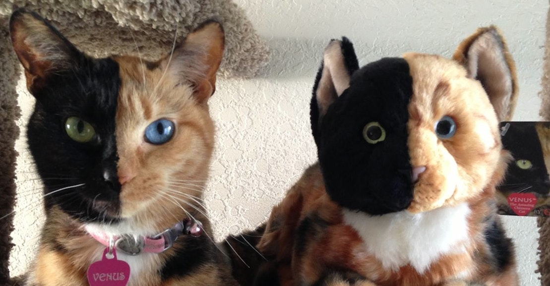 Venus The Chimera Cat Explained By Geneticist New Republic - Venus two faced cat