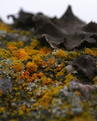 How Lichens Won World War Ii | The New Republic